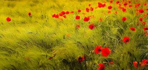 coquelicots_champvent-r